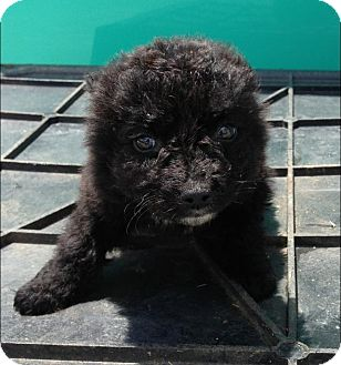 Labradoodle Mix Puppy for adoption in East Rockaway, New York - Tim