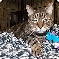 Adopt A Pet :: Tonya FIV+ - Chesapeake, VA