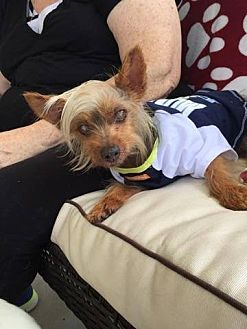 Yorkie, Yorkshire Terrier Dog for adoption in Fountain Valley, California - Petey