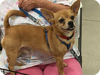 Chihuahua/Pug Mix Dog for adoption in Fort Myers, Florida - Suave