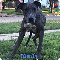 Great Dane/Greyhound Mix Puppy for adoption in Cheney, Kansas - Merlin