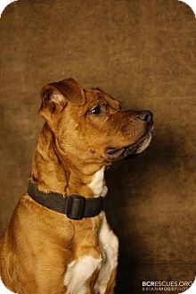 Boxer Mix Dog for adoption in Bloomfield, New Jersey - Zuko
