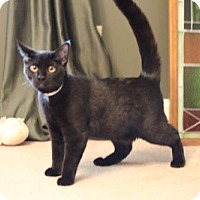 Domestic Shorthair Cat for adoption in Franklin, Tennessee - SEBASTIAN