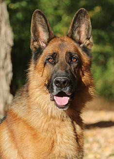 German Shepherd Dog Dog for adoption in Nashville, Tennessee - Beasley
