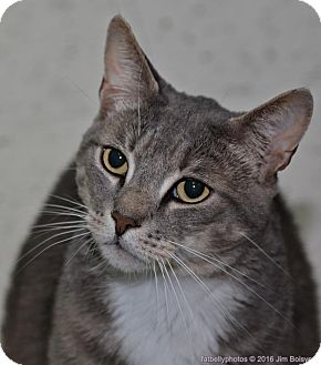 Domestic Shorthair Cat for adoption in Meriden, Connecticut - Brendan