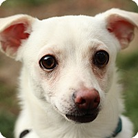 Chihuahua/Jack Russell Terrier Mix Puppy for adoption in Romeoville, Illinois - Flapjack