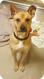 Australian Kelpie/Shar Pei Mix Dog for adoption in Bellingham, Washington - Copper