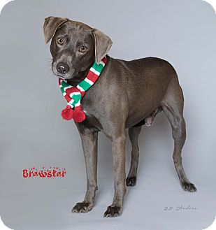 Blue Lacy/Texas Lacy/Retriever (Unknown Type) Mix Dog for adoption in Houston, Texas - Brewster