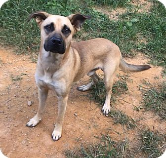 Black Mouth Cur/Labrador Retriever Mix Dog for adoption in Charlotte, North Carolina - Lucky