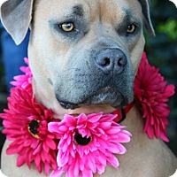 Adopt A Pet :: Nahla - South El Monte, CA