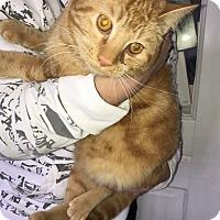 Adopt A Pet :: Sherbert - Neutered - Alliance, OH