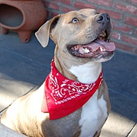Pit Bull Terrier Mix Dog for adoption in Los Angeles, California - Stryker