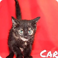 Adopt A Pet :: Carly - Batesville, AR
