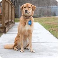 Adopt A Pet :: Nyla - Westminster, CO