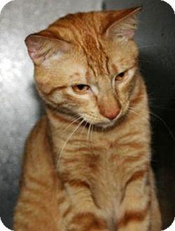 Domestic Shorthair Cat for adoption in North Highlands, California - Kittridge