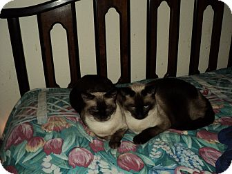 Siamese Cat for adoption in Tavares, Florida - AJ