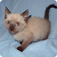 Adopt A Pet :: Svetlana - Bentonville, AR