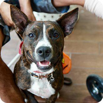 Patterdale Terrier (Fell Terrier) Mix Dog for adoption in New York, New York - JACK