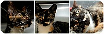 Domestic Shorthair Cat for adoption in Forked River, New Jersey - Marble
