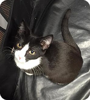 Domestic Shorthair Cat for adoption in Freeport, New York - Tiny Timatha