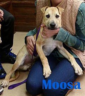 Terrier (Unknown Type, Medium)/Labrador Retriever Mix Dog for adoption in Orangeburg, South Carolina - Moosa