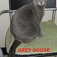 Domestic Shorthair Cat for adoption in Satellite Beach, Florida - Gray Goose