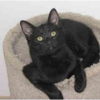 Domestic Shorthair Cat for adoption in AUSTIN, Texas - Ricky