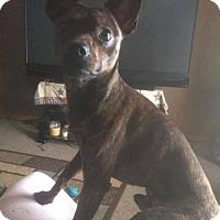 Adopt A Pet :: Rigger - Gilbertsville, PA