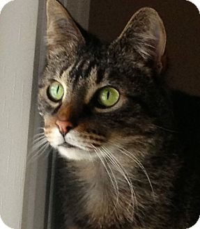 Domestic Shorthair Cat for adoption in Green Bay, Wisconsin - Julie