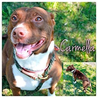 American Pit Bull Terrier Mix Dog for adoption in Garden City, Michigan - Carmella