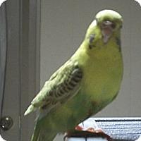Adopt A Pet :: Lemondrop - Lenexa, KS