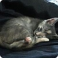 Adopt A Pet :: Audrey - Reston, VA