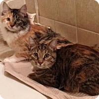 Adopt A Pet :: Lola & Lily - Raritan, NJ