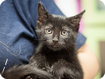 Domestic Shorthair Kitten for adoption in Dallas, Texas - Buddy