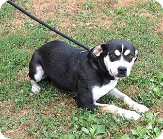 Beagle Mix Dog for adoption in Texico, Illinois - Beetle Bug -35 lbs