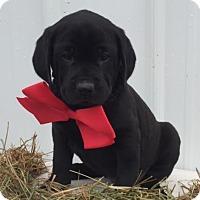 Adopt A Pet :: Dozer - Stamford, CT