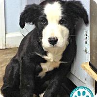 Adopt A Pet :: Gozer - Kimberton, PA