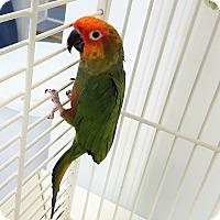 Adopt A Pet :: Savannah - Grandview, MO