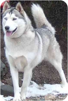 Siberian Husky Dog for adoption in Southern California, California - Sasha