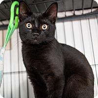 Adopt A Pet :: Angel - Shelton, WA