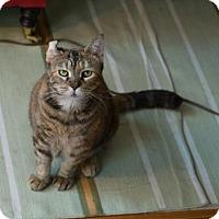 Domestic Shorthair Cat for adoption in New York, New York - Nellie