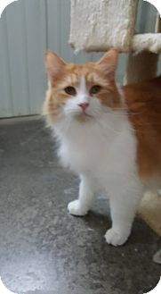 Domestic Mediumhair Cat for adoption in Odessa, Texas - Candy Man