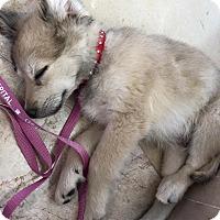 Adopt A Pet :: 9 week old puppy! Pancho - North Bend, WA
