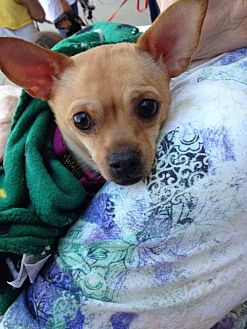 Terrier (Unknown Type, Medium)/Chihuahua Mix Dog for adoption in Columbia, Tennessee - Hannible/Peanut/TN