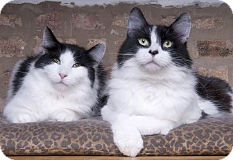 Maine Coon Cat for adoption in Chicago, Illinois - Bobbie and Clyde