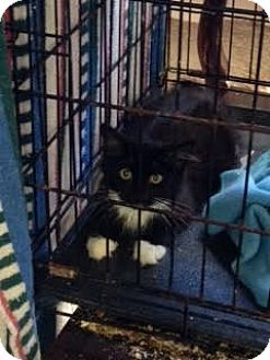 Domestic Mediumhair Kitten for adoption in Alamo, California - Tux2