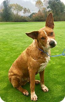 Cattle Dog Puppy for adoption in Corona, California - RAIDER