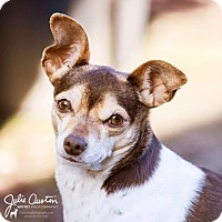 Chihuahua Mix Dog for adoption in North Bend, Washington - Calliope