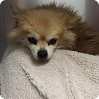 Pomeranian Dog for adoption in Westminster, California - Cherrie