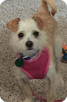 Cairn Terrier/Chihuahua Mix Dog for adoption in O'Fallon, Missouri - Betty